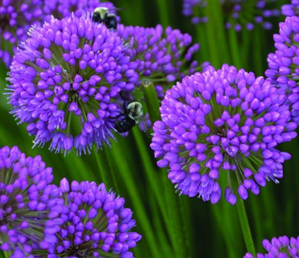 Allium Millenium