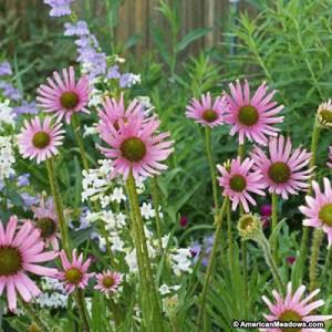 Echinacea tenneesseensis one of the interesting echinacea perennials