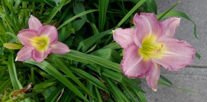 Lavender daylily