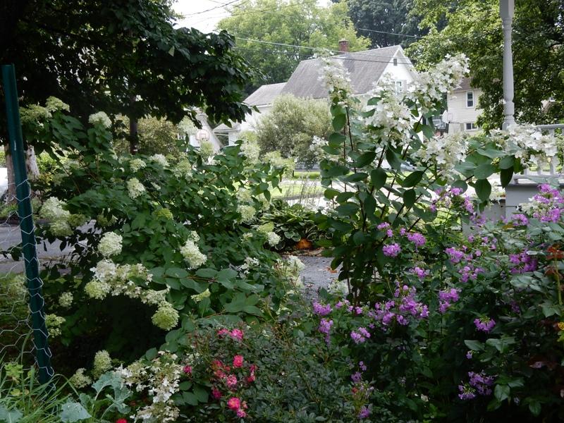 Hydrangeas, phlox, roses