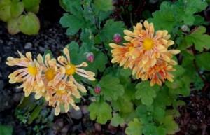 Autumn Glory spoon chrysanthemums