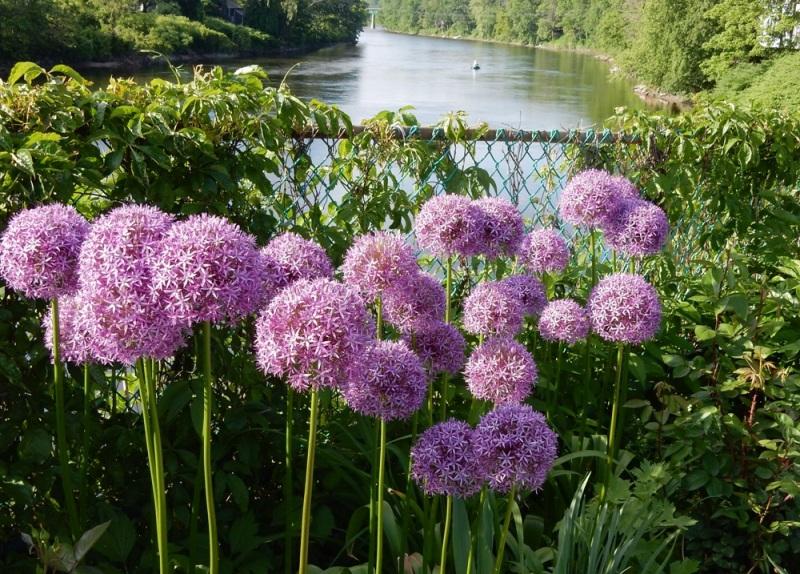 Allium gigantium