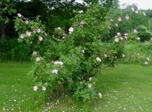 Applejack rose