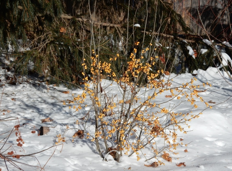 Golden winterberries