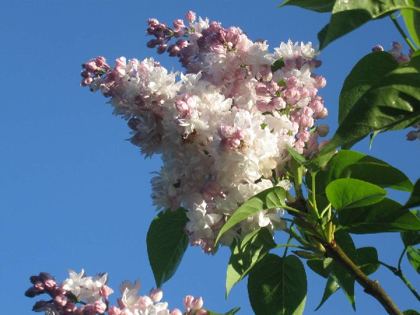 Beauty of Moscow double lilac
