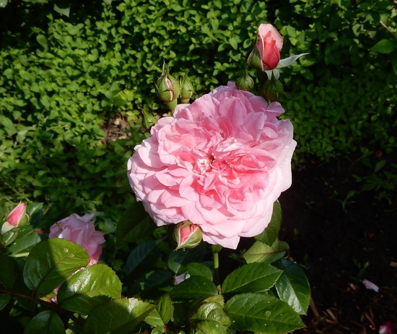 Zaide - Kordes rose