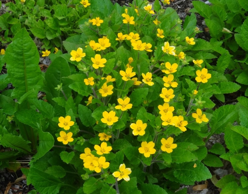 Green and gold groundcover