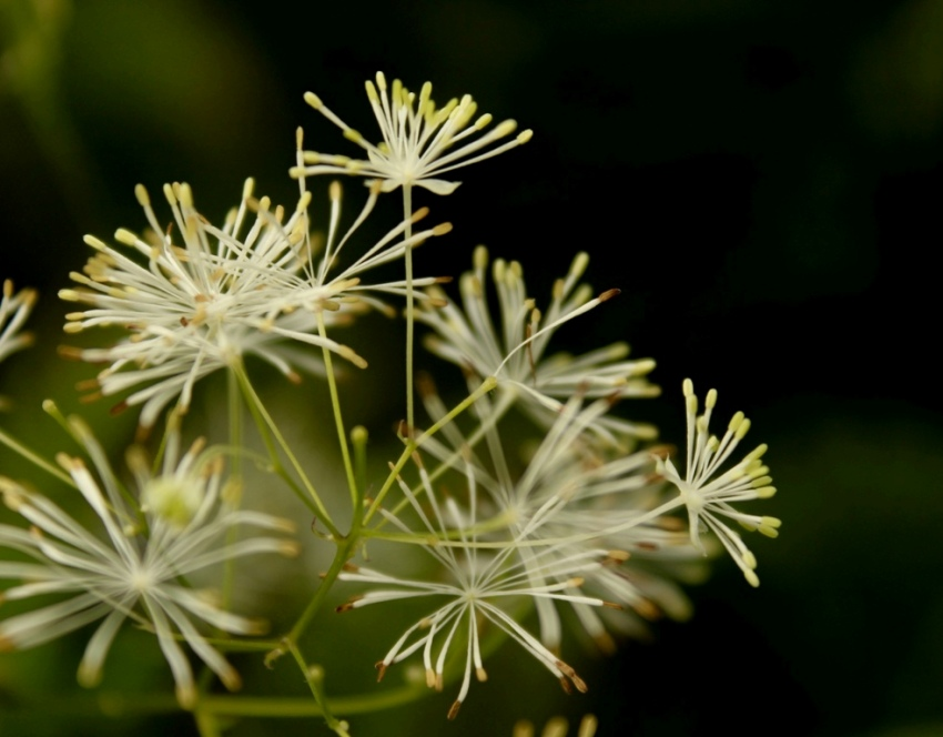 Meadow rue - photo taken by Will Draxler