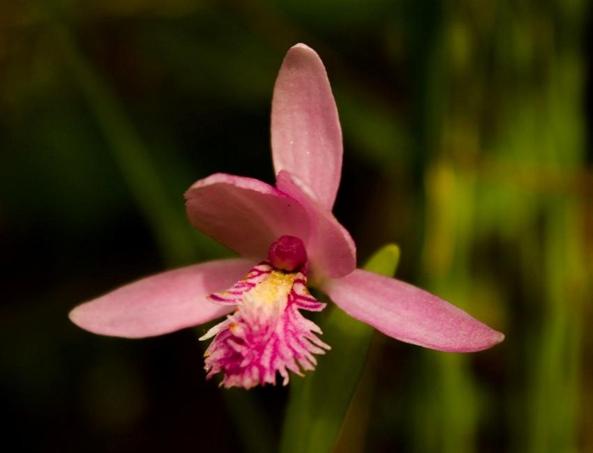 Hawley Bog orchid