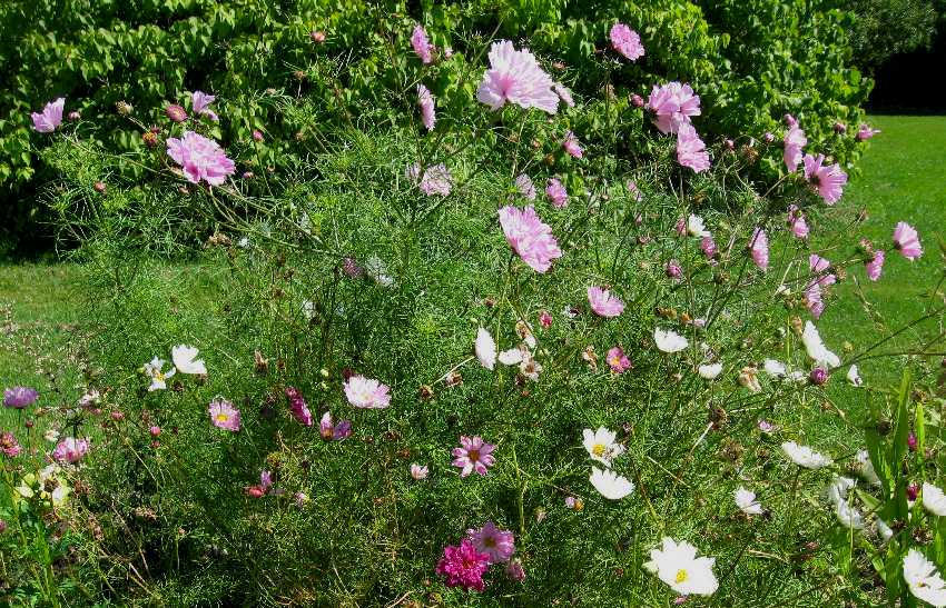 Annual cosmos