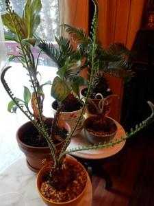 Sago pine
