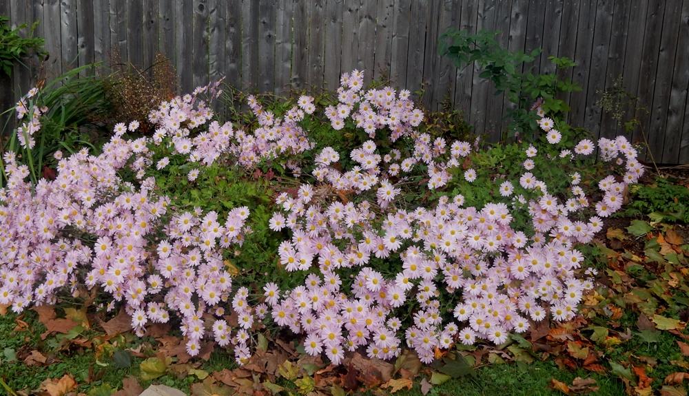 Sheffield daisy