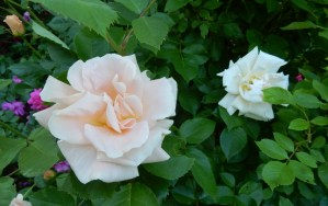 Folksinger rose