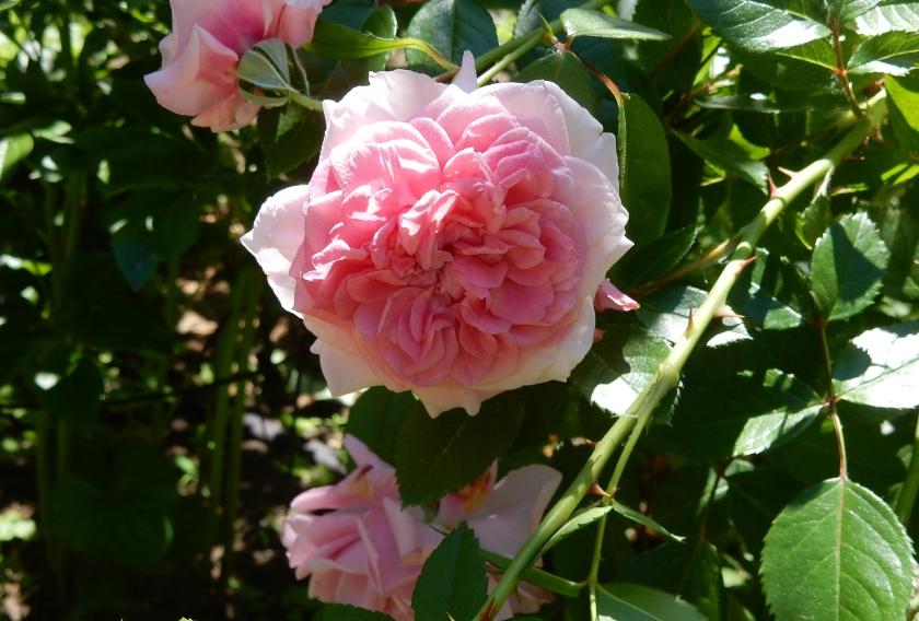 Zaide, Kordes rose