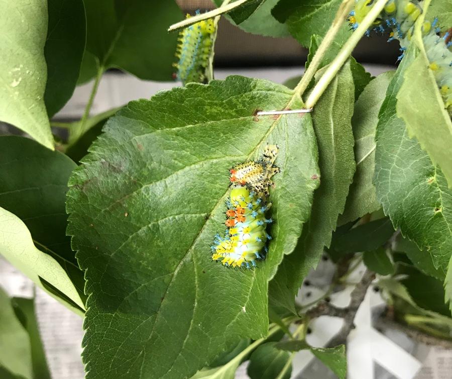 Cecropia moth, 3rd instar