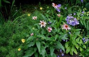 Coreopsis, coneflowers and Blue Paradise phlox