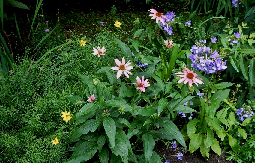 Coreopsis, coneflowers and Blue Paradise phlox