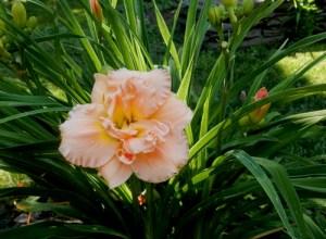 Pink ruffles daylily