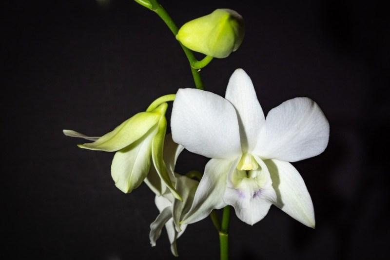 Como escolher uma orquídea para cultivar