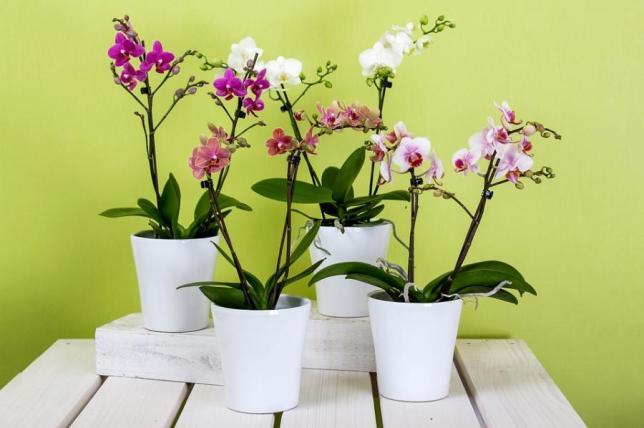 Quando transplantar uma orquídea Phalaenopsis