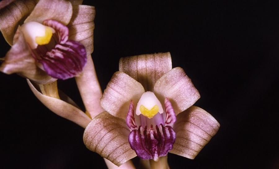 Top 10 orquídeas mais raras do mundo