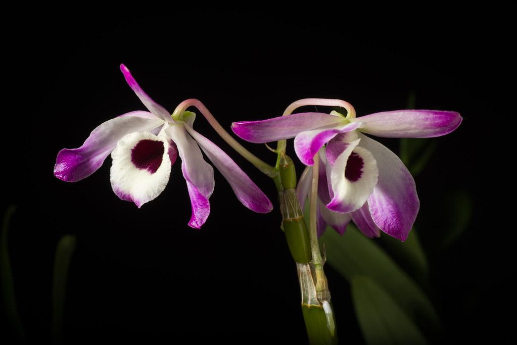 orquídeas dendrobium Direitos autorais: Motohiro SUNOUCHI