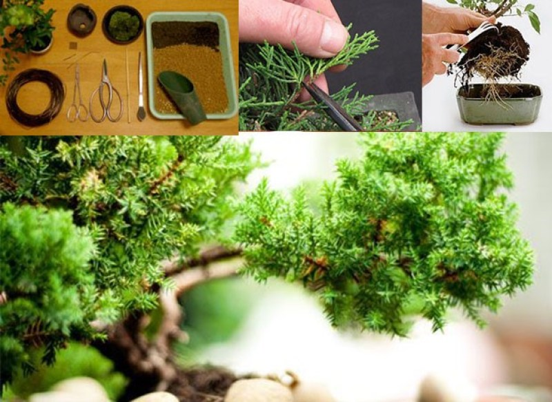 como cuidar de um bonsai