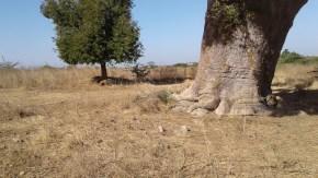 baoba pied éléphant