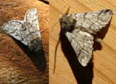 processionnaire_papillons_males