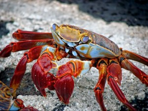 crab for cancer zodiac sign re Taurus Cancer