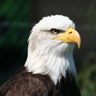 eagle-3480438__340