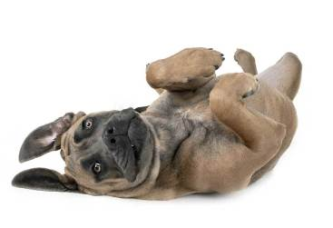 chiot-cane-corso-froment