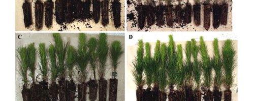 Uso combinado de compost y Trichoderma harzianum mejora el crecimiento de Pinus radiata