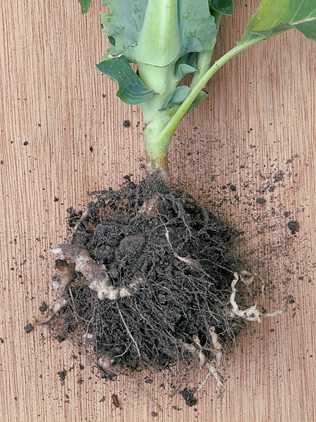 Plasmodiophora brassicae