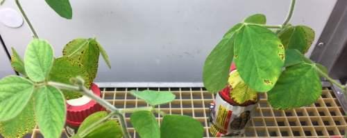 La simbiosis entre rizobios y leguminosas mejora la adaptación de las plantas a suelos contaminados por cobre