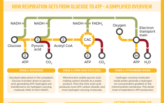The Mighty Mitochondrion & Respiration