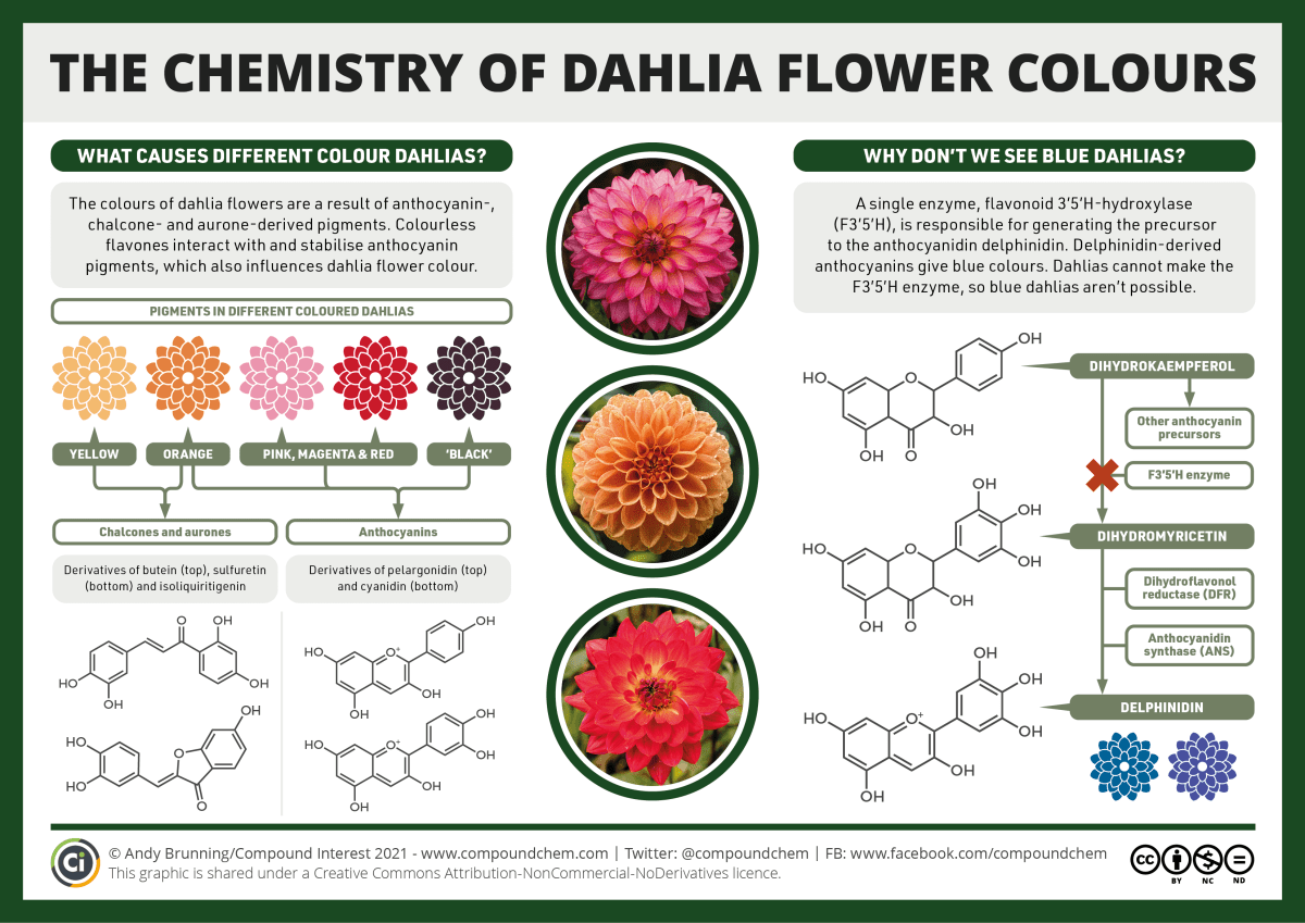 Infographic on the chemistry of dahlia flower colours. The colours of dahlias are a result of anthocyanin-, chalcone- and aurone-derived pigments. Colourless sflavones also interact with and stabilisse anthocyanin pigments. Chalcones and aurones lead to yellow and orange dahlias, while anthocyanins play a part in orange, pink, red and black dahlias. Blue dahlias aren't seen because dahlias lack an enzyme for making delphinidin, the anthocyanin which leads to blue flowers.