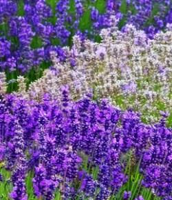 Homemade Lavender Baby Oil