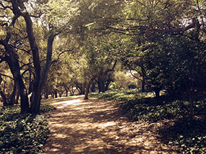 Oak trees form a canopy over the park trail. Sun filters through the leaves and dapples the path.