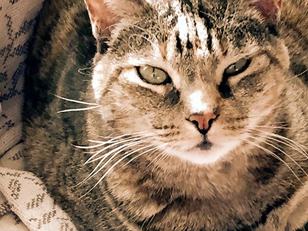 Close up Tabby face