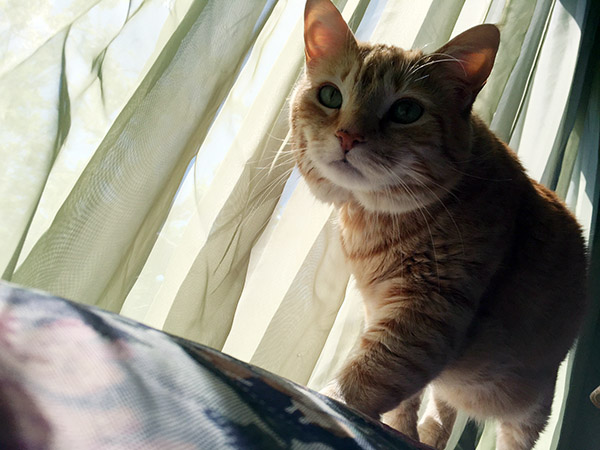 My orange cat Tiger walks determinedly across the top of the sofa with my sheer green curtains billowing behind him