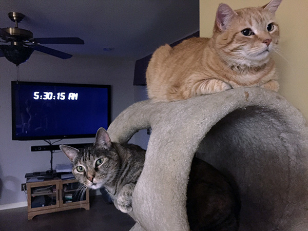 Tiger the orange tabby and Gracie the tortoise shell tabby perch above one another on a cat tree.