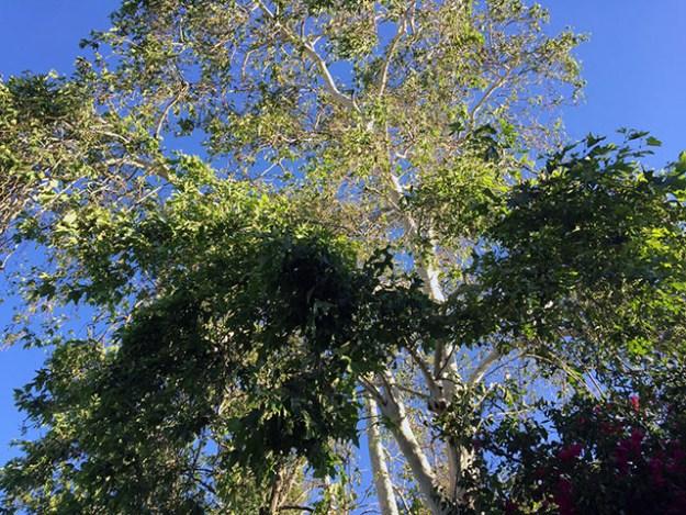Huge towering tree seen from below looking up to the sky