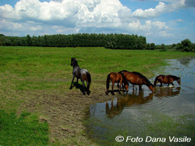 dana vasile - caii din delta