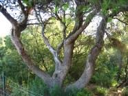 Esemplare di pino d'Aleppo