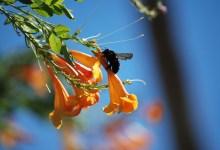 Photo of Le api blu credute estinte esistono ancora