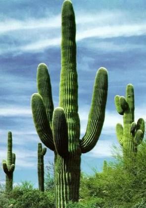 cactus en el desierto
