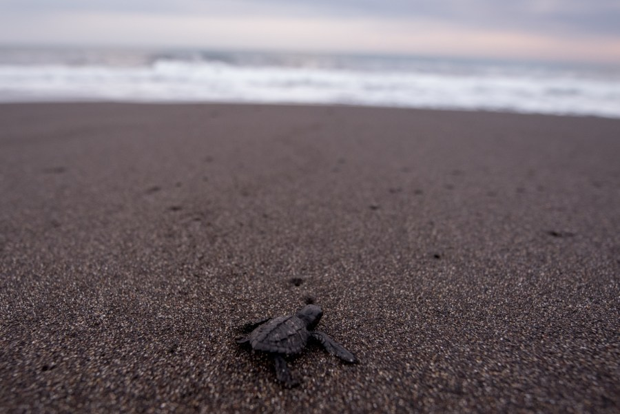 A newborn turtle over the black sand of Monterrico. Photo: Santiago Billy/Comvite