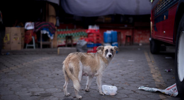 A street dog wanders in the bus terminal of La Antigua Guatemala. Photo: Santiago Billy/Comvite