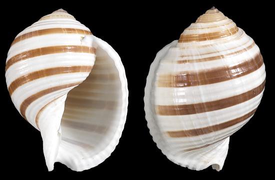 Japanese Land Snails Sea Shells Sea Shell Seashell